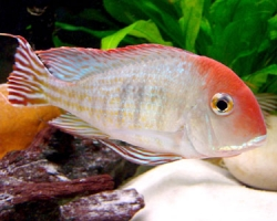 Geophagus sp. red head Tapajos