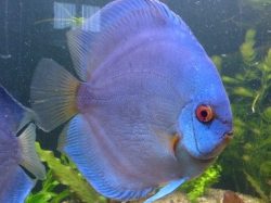 Symphysodon diamand blue