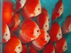 Symphysodon red melon