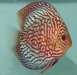 Symphysodon red turquoise