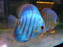 Symphysodon royal blue
