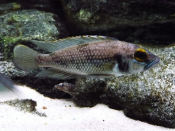 Lamprologus lemairii