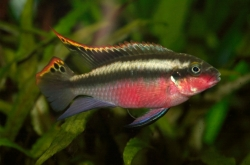 Pelvicachromis super red