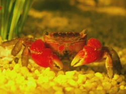 Sesarma mederi-Red mini Crab