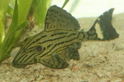 L-191-Panaque spec. Dull eyed Royal Pleco