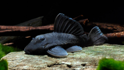 "L-239-Baryancistrus beggini ""Blue Fin"""