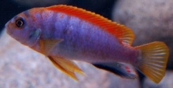Labidochromis sp.Hongi red top