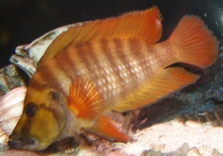 Lamprologus compressiceps red