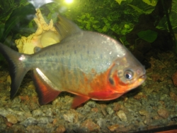 Colosoma brachyponus - Red Pacu
