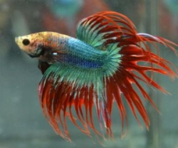 Betta splendens Crown tail -Samci