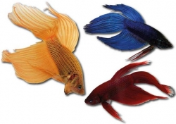 Betta splendens-separ. Samci-mix
