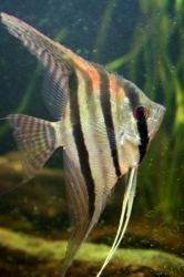 "Pterophyllum sp. ""Santa Izabel"" EU breed F1 very rare"