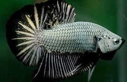 Betta splendens male plakat
