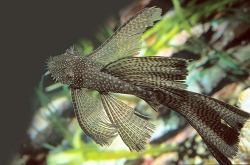 Ancistrus sp. long fin