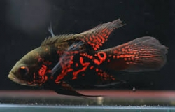 Astronatus ocellatus Red Tiger long fin