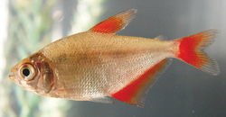 Astyanax sp. Red fin