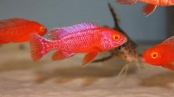 Aulonocara strawberry super red albino