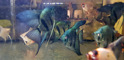 Pterophyllum scalare Pinoy Dark Green Avatar XL NEW