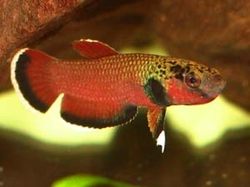 Betta channoides WF