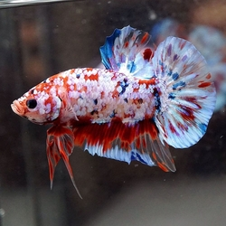 Betta splendens - koi male