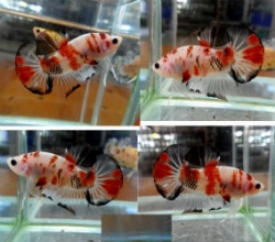 Betta splendens - KOI Short Tail Plakat - Female