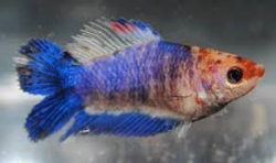 Betta splendens- Double Tail - Female