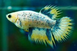 Betta splendens Crown tail - female