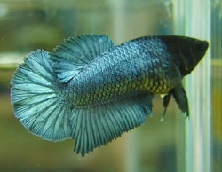 Betta splendens f halfmoon
