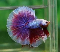 Betta splendens Half Moon Grade AA