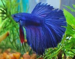 Betta splendens Half Moon - separ. Samci