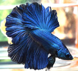 Betta splendens male super delta