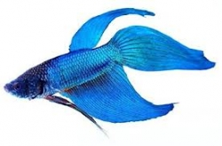 Betta splendens-separ. Samci-BLUE