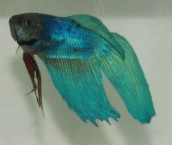 Betta splendens-separ. Samci-Green
