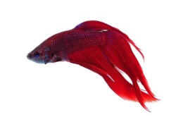 Betta splendens-separ. Samci-RED