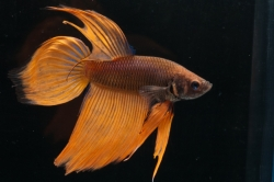 Betta splendens-separ. Samci-Yellow Variated