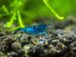 Neocaridina davidi Light Blue Velvet