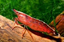Caridina babaulti Red Back