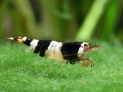 Caridina sp.Crystal Black