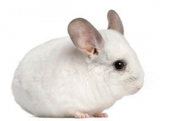 Chinchilla lanigera beige