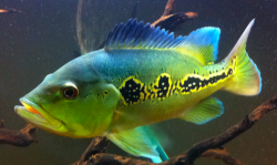 Cichla orinocensis