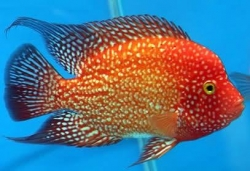 Cichlasoma sp. Flowerhorn Golden Red Texas Full color  NEW