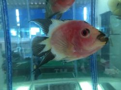 Cichlasoma sp. Flowerhorn Golden Red Trimacu Short Body NEW