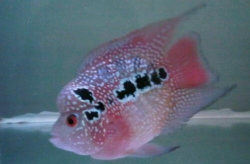 Cichlasoma sp. Flowerhorn Luohan Super Red Short Body NEW
