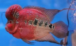 Cichlasoma sp.Flowerhorn Super Red Dragon