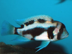 Cyphotilapia frontosa black widow