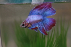 Betta splendens Half Moon - Double Tail Male