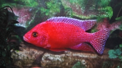 Aulonocara spec. Strawberry Super Color