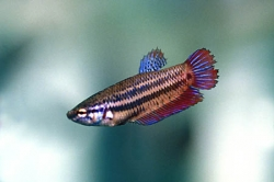 Betta splendens female