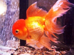 Carassius auratus l.f.Lion Head Red