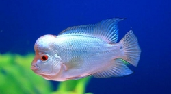Cichlasoma sp. Flowerhorn Blue Diamond
